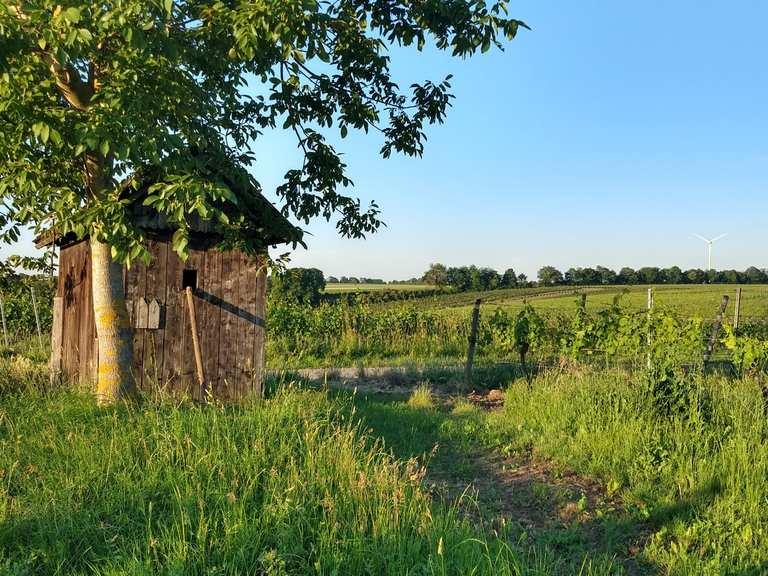 #SunriseRun in den Weinbergen über dem #Selztal ☀️🏃 | Laufstrecke | Komoot